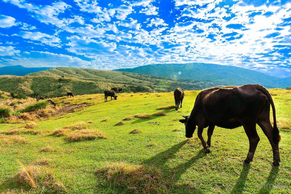 Chingtienkang cattle Yangmingshan